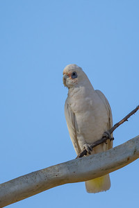 Little Corella (Cacatua sanguinea) - Cowra, New South Wales