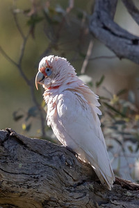 Long-billed Corella (Cacatua tenuirostris) - Tanunda, South Australia