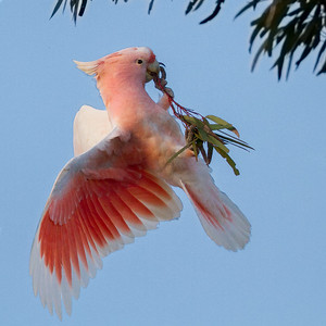 Major Mitchell's (Pink) Cockatoo (Cacatua leadbeateri) - Jilah Rockhole, Western Australia