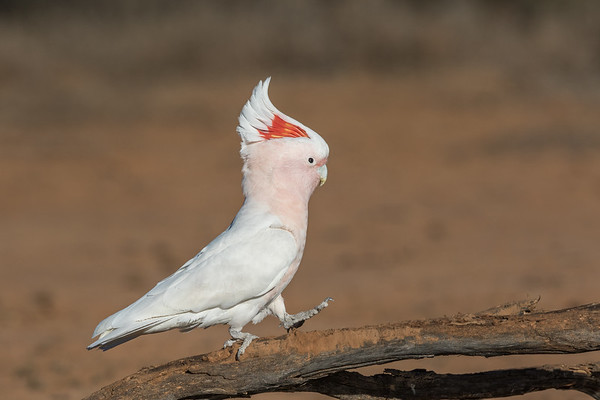 Major Mitchell's Cockatoo (Lophochroa leadbeateri) - Bowra (Cunnamulla), Queensland