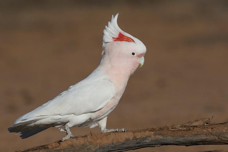 Major Mitchell's Cockatoo (Lophochroa leadbeateri) - Cunnumulla, Queensland