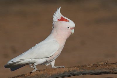 Major Mitchell's (Pink) Cockatoo (Cacatua leadbeateri) - Bowra (Cunnamulla), Queensland