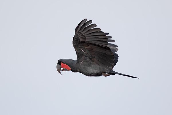 Palm Cockatoo (Probisciger aterrimus)  - Seisia (Cape York), Queensland