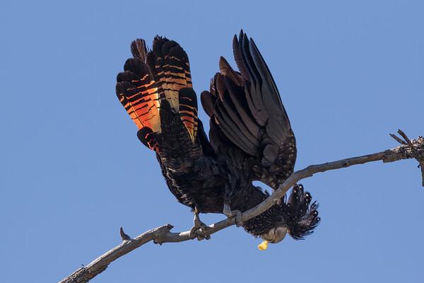 Red-tailed Black-Cockatoo (Calyptorhynchus banksii) - Cumberland Dam (Georgetown), Queensland