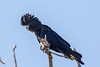 Red-tailed Black-Cockatoo (Calyptorhynchus banksii) - Cumberland Dam (Georgetown), Queensland