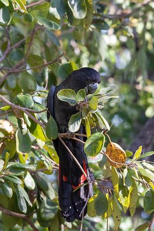 Red-tailed Black-Cockatoo (Calyptorhynchus banksii) - Laura, Queensland