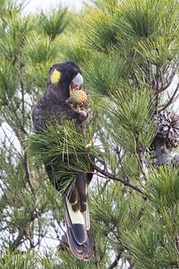 Yellow-tailed Black-Cockatoo (Calyptorhynchus funereus) - Buckland, Tasmania