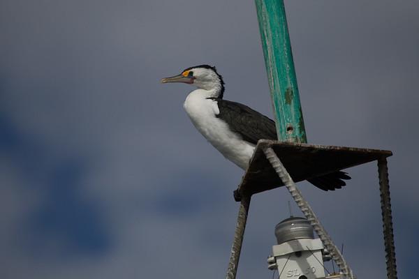 Pied Cormorant (Phalacrocorax varius) - French Island, Victoria