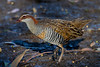 Buff banded rail - Lake Claremont