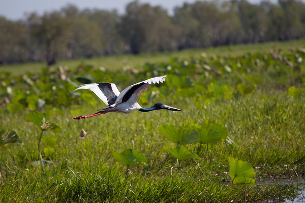 Black-necked Stork (Ephippiorhyncus asiaticus) - Corroboree Billabong, Northern Territory