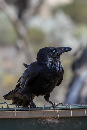 Australian Raven (Corvus coronoides) - Gluepot, South Australia