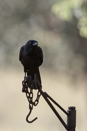 Torresian Crow (Corvus orru) - Archer River Roadhouse (Cape York), Queensland,