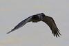 Torresian Crow (corvus orru) - Camooweal, Queensland
