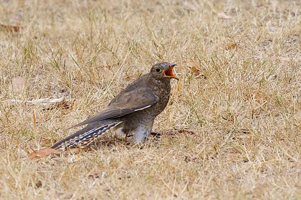 Brush Cuckoo (Cacomantis variolosus) - Clarkesdale, Victoria