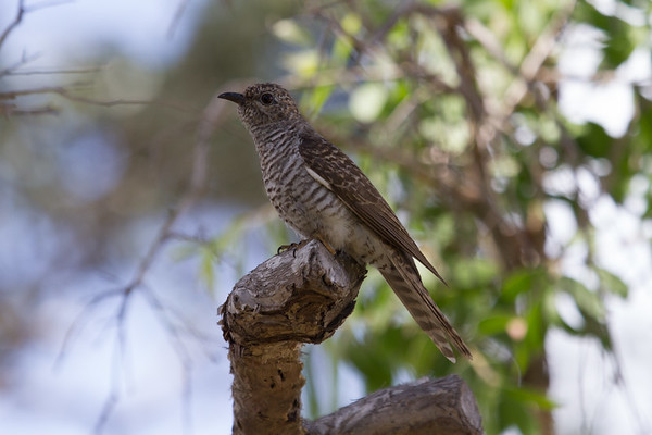 Brush Cuckoo (Cacomantis variolosus) - Town Common Conservation Park, Townsville, Queensland