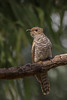 Brush Cuckoo - Town Common Conservation Park, Townsville