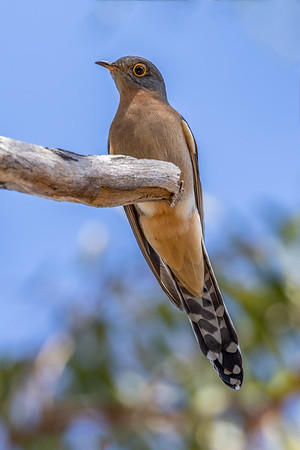 Fan-tailed Cuckoo (Cacomantis flabelliformis) - Artemis Station (Cape York), Queensland