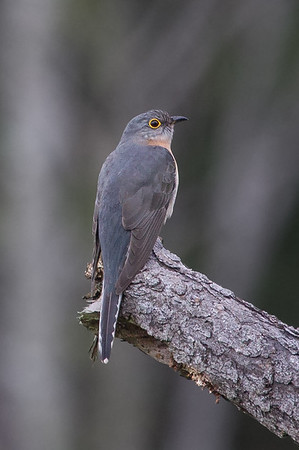 Fan-tailed Cuckoo (Cacomantis flabelliformis) - Kuranda, Queensland