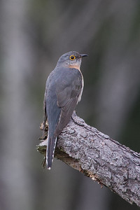 Fan-tailed Cuckoo (Cacomantis (Cuculus) flabelliformis) - Kuranda, Queensland