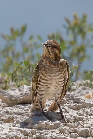 Horsfield's Bronze-Cuckoo (Chalcites basalis) - Menindee, New South Wales