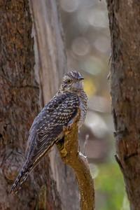 Pallid Cuckoo (Cuculus pallidus) - Clarkesdale, Victoria