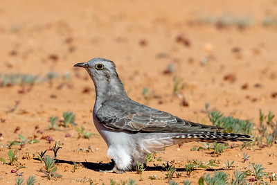 Pallid Cuckoo (Cacomantis pallidus) - Cunnamulla, New South Wales