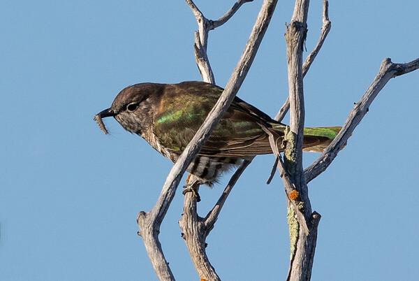 Shining Bronze-Cuckoo (Chalcites lucidus) - Herron Point, Western Australia