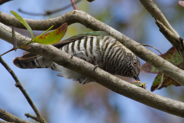 Shining Bronze-Cuckoo (Chalcites lucidus) - Clarkesdale, Victoria