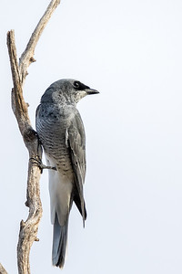 White-bellied Cuckoo-shrike (Coracina papuensis) - Bollon, Queensland