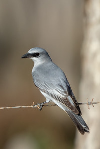 White-bellied Cuckoo-shrike (Coracina papuensis) - Artemis Station (Cape York), Queensland,