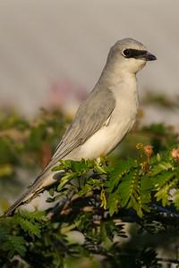 White-bellied Cuckoo-shrike (Coracina papuensis) - Darwin, Northern Territory