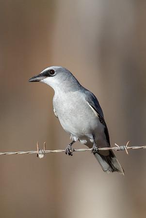 White-bellied Cuckoo-shrike (Coracina papuensis) - Artemis Station (Cape York), Queensland,