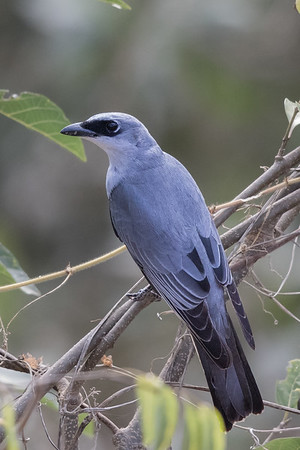White-bellied Cuckoo-shrike (Coracina papuensis) - Laura, Queensland