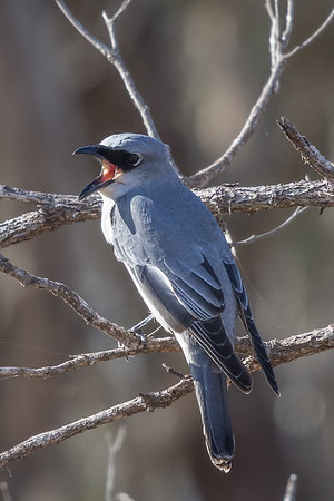 White-bellied Cuckoo-shrike (Coracina papuensis) - Mareeba, Queensland
