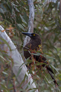 Grey Currawong (Strepera versicolour) - Gluepot, South Australia