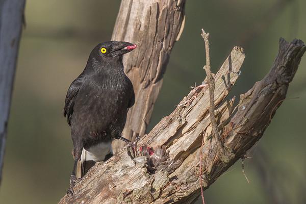 Pied Currawong (Stepera graculina) - Cowra, New South Wales