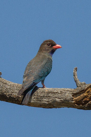 Dollarbird (Eurystomus orientalis) - Wantabadgery, New South Wales