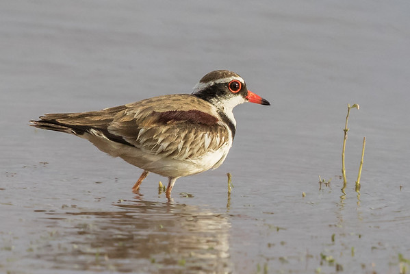 Black-fronted Dotterel (Elseyornis melanops) - The Dam (Dajarra) Queensland
