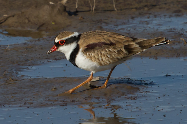 Black-fronted Dotterel (Elseyornis melanops) - Werribee Treatment Plant, Victoria
