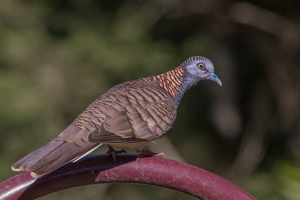 Bar-shouldered Dove (Geopelia humeralis) - Lockyer Valley, Queensland