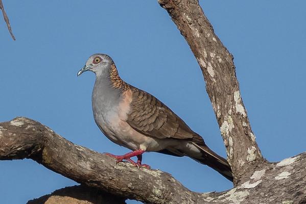Bar-shouldered Dove (Geopelia humeralis), Mareeba, Queensland