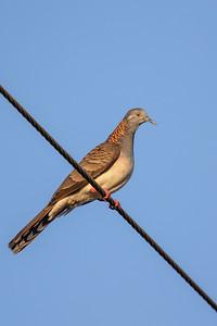 Bar-shouldered Dove (Geopelia humeralis) - Birds on Barron (Mareeba), Queensland