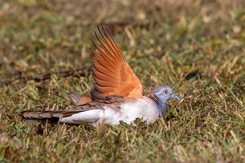 Bar-shouldered Dove,(Geopelia humeralis) - Mareeba, Queensland