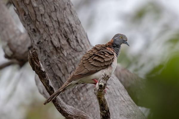 Bar-shouldered Dove (Geopelia humeralis) - Moreton Telegraph Station (Cape York), Queensland