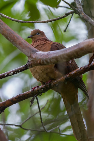 Brown Cuckoo-Dove (Macropygia phasianella) - Mt Hypipamee National Park, Queensland