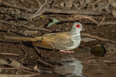 Diamond Dove (Geopelia cuneata) - Wood Duck Dam (Flinders Ranges), South Australia
