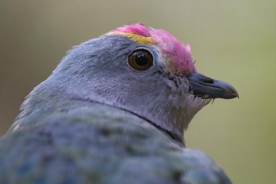 Rose-crowned Fruit-Dove (Ptilinopus regina) - Healsville, Victoria
