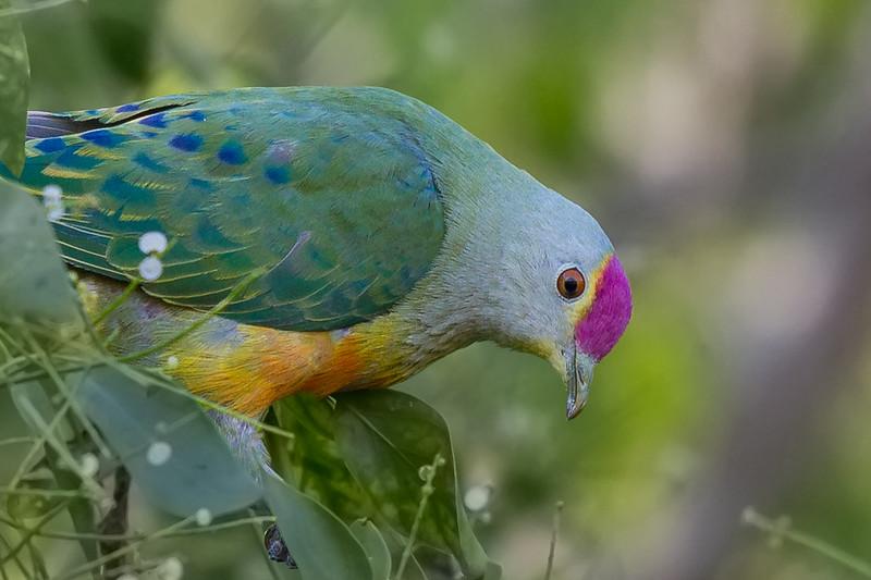 Rose-crowned Fruit-Dove (Ptilinopus regina)  Botanic Gardens (Darwin), Northern Territory