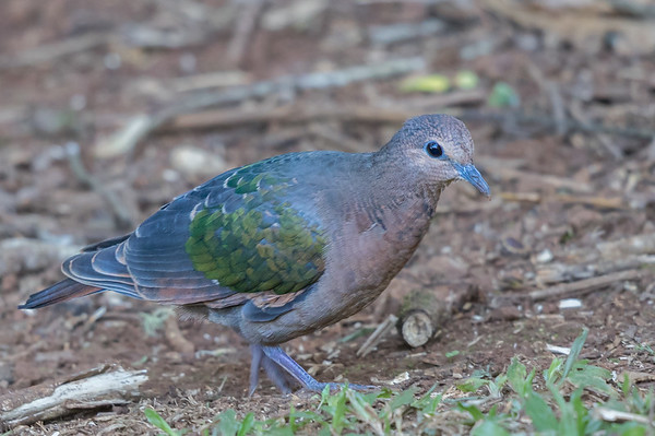 Pacific Emerald-Dove (Chalcophaps longirostris) - Malanda, Queensland