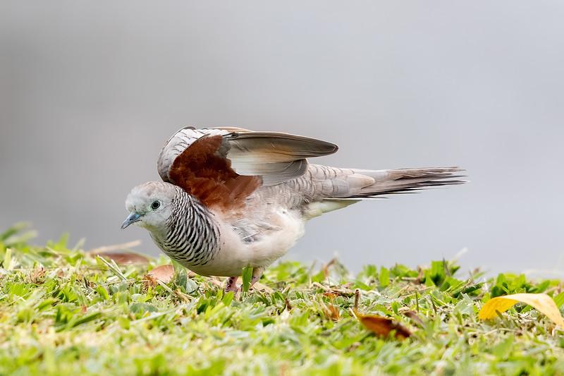 Peaceful Dove (Geopelia placida) - Tyto Wetlands (Ingham), Queensland